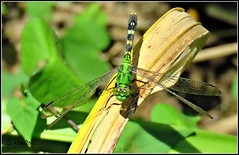 Emerald Eyes (Suzanham) Tags: eyes greendragonfly green wildlife nature noxubeewildliferefuge mississippi insect wings bug dragonfly canonpowershotsx60