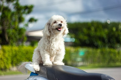 IMG_0893_1 (pavel.milkin) Tags: thailand phangngan dog doggy puppy smile white moto motobike wait travel canon canon550d 550d helios helioslens helios442 442 colour endlesssummer bokeh bokehlicious