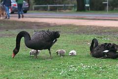 First Arrivals (blachswan) Tags: ballarat victoria australia lakewendouree spring swans blackswan cygnet blackswancygnet cygnets blackswancygnets firstarrivals