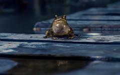 Kvack (Cyjinx) Tags: frog prince kvack supermodel beautiful