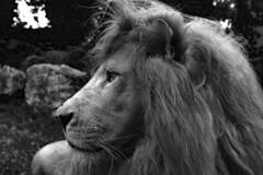 King (sammy_boogeyman) Tags: blackandwhite lion animal cornelle zoo bergamo milan lombardia italy whitelion