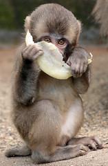 japanese macaque artis JN6A3308 (j.a.kok) Tags: makaak macaque japansemakaak japanesemacaque artis