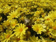 Cumbrae Walk 7a DT on Yellow Flowers (g crawford) Tags: dangerted dt danger ted crawford yellow flowers millport cumbrae ayrshire northayrshire teddy teddies