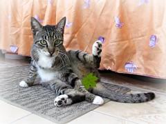 Fonto censurada (MaPeV) Tags: morris bellolindoguapetn gatos cats chats kawaii felin neko gatti gattini gattoni tabby chat katze gato kitty tabbyspoted powershot canon g16