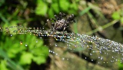 ...arachnid gem maker... (carbumba) Tags: waterdrops water droplets colorful nature garden spider glitter prism macto closeup web