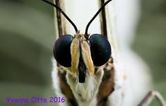 K46A8129 (Yvonne23021984) Tags: schmetterling butterfly hamm germany deutschland maxipark markro photography macrophotography canon canonphotography markofotografy canoneos7dmarkii insects insekten nature naturfotografie naturephotography closeup colorkey schmetterlinge butterflies
