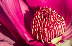 Winters bloom (AWLancaster) Tags: canonmacro macro upclose 100mmmacro 7d natural flower beauty beautiful upcloseflower stamen pollen spring bloom blooming