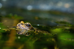 Swimming (EMartinH) Tags: frog pond garden amphibians