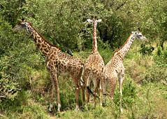A Trio of Giraffes, Masai Mara, Kenya, Africa (Amethinah) Tags: 2012 africa kenya masaimara maasaimara wildlife giraffe masaigiraffe