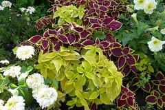 23viii2016 Waterloo Gardens 6 (garethedwards36) Tags: waterloo gardens park roath cardiff wales uk lumix plants leaves blooms