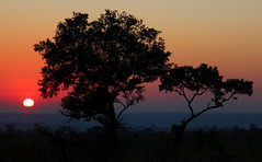 Sunrise on the Savannah (Bergenseren) Tags: 2016 africa tree sunrise morning savannah silhouette layers stunning beautiful outstanding unique kruger