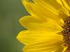 Instant fugace **---+° (Titole) Tags: nicolefaton titole petals sunflower yellow tournesol 15challengeswinner unanimouswinner thechallengefactory