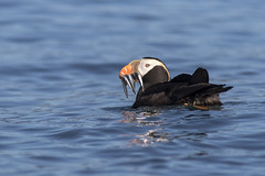 Tufted Puffin (Bryce W. Robinson) Tags: bird birding birds birdwatching biology birdlife alaska homer kachemak bay tufted puffin alcid wildlife nature animal sea ocean fish