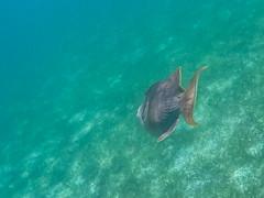 Triggerfish Drückerfisch Malediven