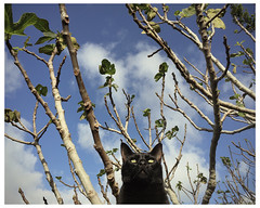 Fearless (<be>) Tags: fearless cat blackcat fig tree littledoglaughedstories