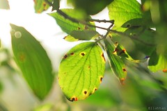 Nothing's perfect (nathaliedunaigre) Tags: nature feuilles soleil sun t summer rouille feuillage leaves vert green arbre tree branches bokeh details dtails