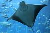 Smile :) (mahulpatel3) Tags: dubai aquarium animal stingray blue water fish smile