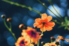 Let Your Light Shine (preze) Tags: klondikecosmos cosmossulphureus kosmeen blume flower pflanze plant blossom blte flora petals light licht orange gegenlicht backlight bltenbltter bltenblatt canoneosm3 bokeh