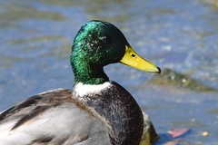 Mallard (careth@2012) Tags: mallard wildlife nature portrait beak feathers