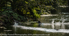 Coot on Water (Philip Pound Photography) Tags: wildlife nature londonwildlifetrust stokenewington hackney coot water pond river wader waterfowl wildfowl