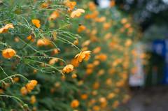 Cosmos in the rain (odeleapple) Tags: pentax k5 lls pentaxda 50mm cosmos rain orange