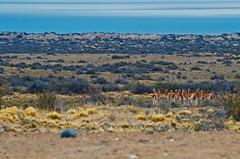 Llamas de la Patagonia (DJG.Photo) Tags: llamas patagonia perito moreno