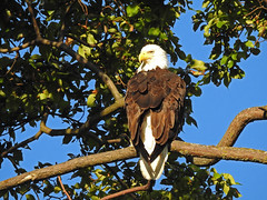 """""""Bald and Proud of it"""" (dynamicbirder) Tags: bald eagle bird prey raptor coth"""