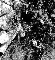 mpix 59 081016 7n 50mm IL 400 081516 002e ~ Long Hot Summer (BDC Photography) Tags: pipecreek texas usa blackwhite 35mmfilm ilfordsuperxp2400 ilford canon canoneoselan7n canoneos33v canonef50mmf14usmlens bwfpro58mm010uvhaze1xmrcfilter filter bw58mm16orange0404x550mrcfilter bwfpro58mm0222xmrcyellowfilter epsonperfectionv600photoscanner bwfp flowers