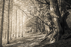 Reaching out (PKpics1) Tags: exmoor pines trees leaves trunks wood westsomerset minehead topcoat outdoor monochrome tree texture landscape forest