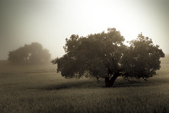 DPS Assignment: Landscape-Trees (rt4babies) Tags: bw tree fog landscape los oak olivos