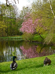 Mallards and Cherry Blossom (g crawford) Tags: park pink reflection bird water smile smiling birds reflections cherry reflecting scotland duck blossom glasgow parks scottish reflect cherryblossom mallard crawford kelvingrove scots kelvingrovepark