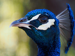 Proud Peacock (RobertCross1 (off and on)) Tags: california portrait eye nature birds animal la losangeles bokeh arboretum peacock tele botanicgarden arcadia 43 omd mft 40150mm greatphotographers microfourthirds mygearandme mygearandmepremium mygearandmebronze