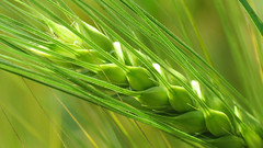 GREEN WHEAT (kuytu) Tags: macro green farm wheat yeil tarla buday