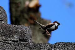 Momento decisivo en Passer domesticus =P (Greñitas) Tags: en aves momento passerdomesticus decisivo momentodecisivo angelanavabolaños pajarillobrincando pajaritobrincando