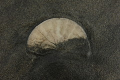 Sand Dollar (blackthorne56) Tags: wood shells beach sand sandy peter driftwood beaches drift iredale shepwreck