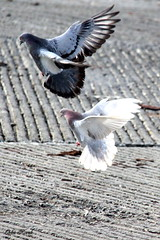 Two of a Kind_IMG_9188C (Orkakorak) Tags: birds inflight opposite pigeons reverse twoofakind showbizwinner showbizredcarpeteventwinner okpg