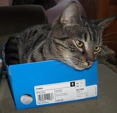Antigone / Antgona (JuliaBalbilla) Tags: cats chats katten tabby gatos katzen gatti gats atigrado