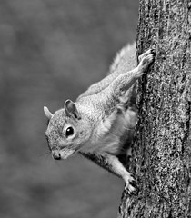 Day 141 of 366 Grey Squirrel (Chris Willis 10) Tags: bw white black nature monochrome grey warrington squirrel cheshire reserve photographic society wps risleymoss