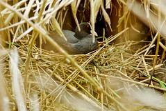 Fotja al niu / Coot in the nest (SBA73) Tags: bird animal nest au catalonia hidden ave catalunya pajaro nido coot niu nesting llobregat aiguamolls fulicaatra eurasiancoot ocell parcnatural deltadelllobregat amagat maresma fotja lesfilipines niuar