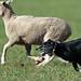 Sheepdog Trials in California