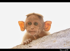 Baby Monkey (Hemanth Karunan) Tags: sathish
