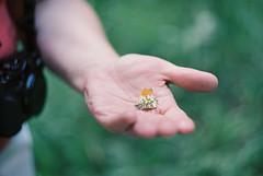 Anthocharis Cardamines (comeonpartypeople) Tags: camera orange green film animals analog butterfly hands nikon hand kodak grain mother tip f2 zenit 20 portra 58mm helios photocamera helios44m the f20 anthochariscardamines zenitet pieridae portra160 helios44 kodakportra anthocharis cardamines helios44m7 44m 44m7 nikonp7100 theorangetip
