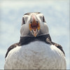 say aaahhh (Black Cat Photos) Tags: show uk sea england cute bird nature canon mouth blackcat island photography boat photo bill movement europe open display action wildlife gull performance beak adorable move m sound puffin perform openmouth boattrip farne mute farneislands farn colony staple aaahhh fraterculaarctica farneisland stapleisland farns farnislands blackcatphotos sayaaahhh