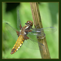 Broad-bodied Chaser (f) (Full Moon Images) Tags: macro nature insect dragonfly wildlife lakes reserve broad fen cambridgeshire drayton chaser rspb broadbodied bodied fendrayton