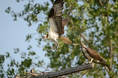 Osprey family (cl.lin) Tags: fish bird nature birds nikon wildlife birding sigma iowa osprey coralvillelake d7000
