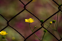 Fenced Buttercup (CecilieSonstebyPhotography) Tags: flowers summer flower macro yellow closeup canon fence rust purple buttercup july rekkevik larvik macro100mm canon60d canoneos60d