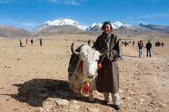 White Yak (vividcorvid) Tags: china yak people mountain man animal landscape asia cattle farm places tibet himalayas domesticated