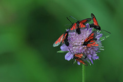 Hiireherne-verikireslased; Zygaena osterodensis (urmas ojango) Tags: lepidoptera liblikalised insecta insects putukad moth kireslased zygaenidae nationalmothweek