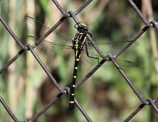 Dragonfly / Sieboldius albardae / 小鬼蜻蜒(コオニヤンマ)