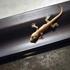 .: gOOgle eyed midnight visitor :. (uteart) Tags: mexico gecko puertovallarta babygecko utehagen uteart midnightvisitor